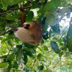 Paresseux dans le parc national de Cahuita - animaux du Costa Rica