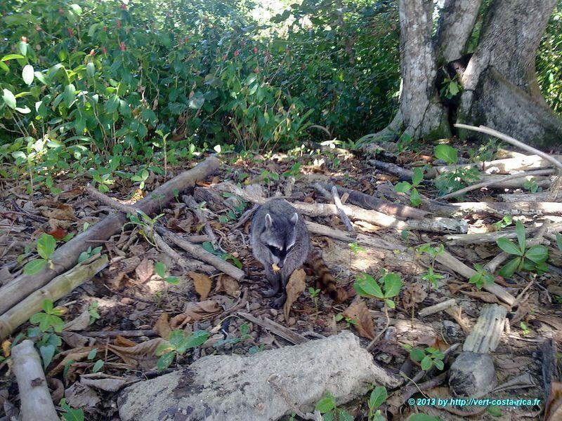 raton-laveur dans le parc national de Cahuita - animaux du Costa Rica
