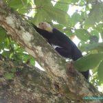 Singe Capucin dans le parc national de Cahuita - animaux du Costa Rica