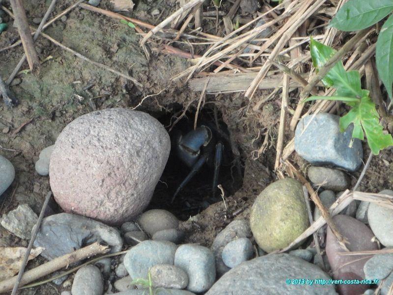Crabe multicolore dans le parc national de Cahuita - animaux du Costa Rica