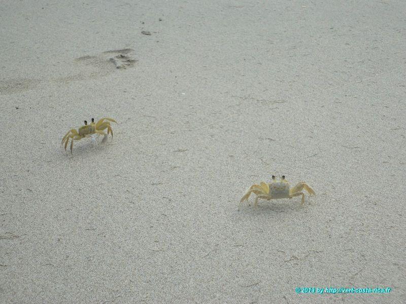 Crabe dans le parc national de Cahuita - animaux du Costa Rica