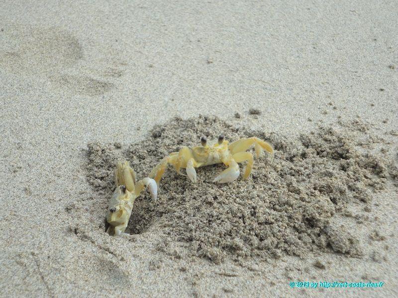 Crabes dans le parc national de Cahuita - animaux du Costa Rica