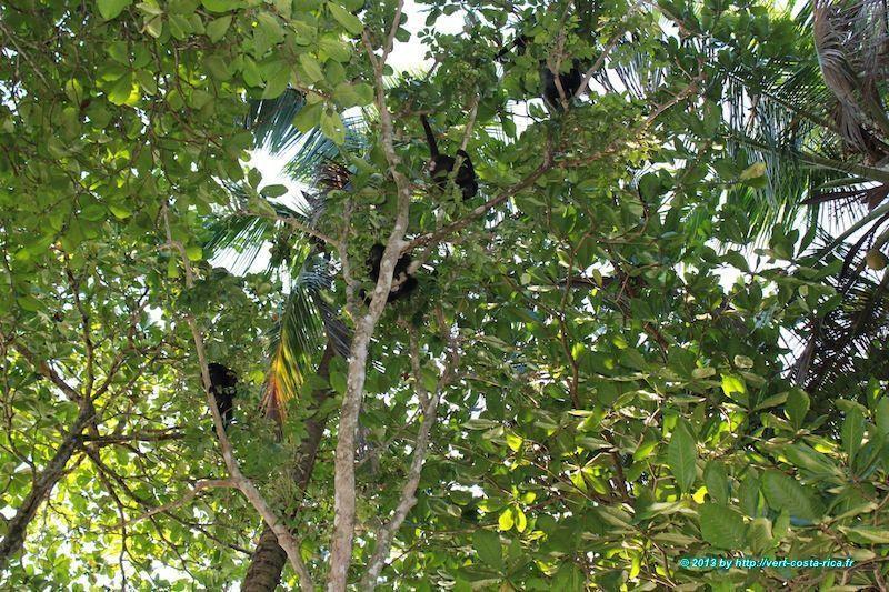 Singe hurleur dans le parc national de Cahuita - animaux du Costa Rica