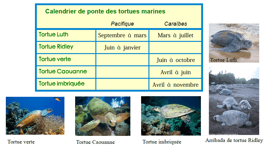 tortues luth