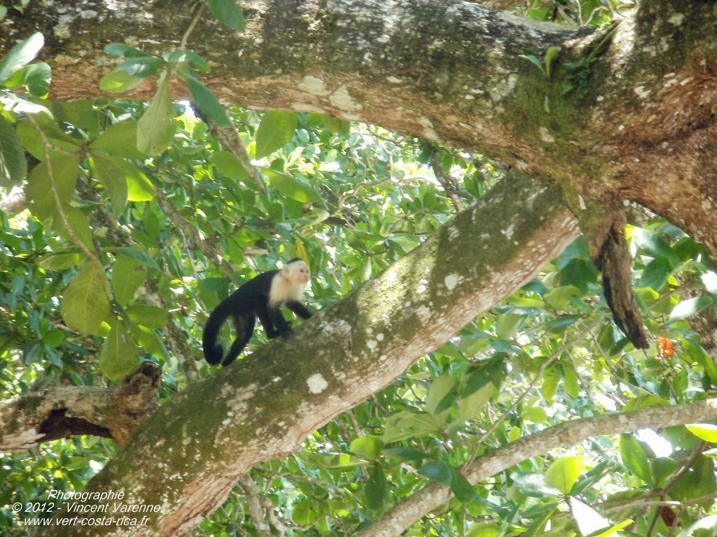 Animaux Costa Rica - Singe Capucin