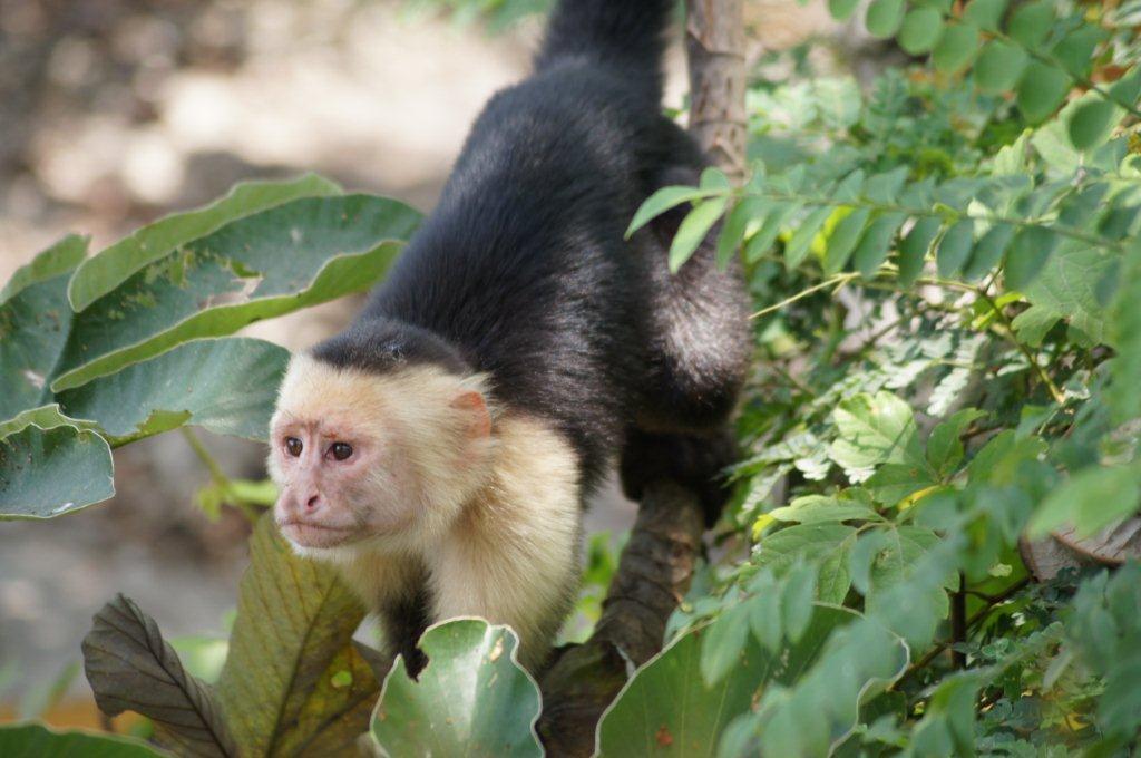 Portrait du Singe Capucin - Animaux Costa Rica