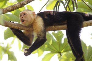 Le Singe Capucin à tête blanche - Animaux Costa Rica
