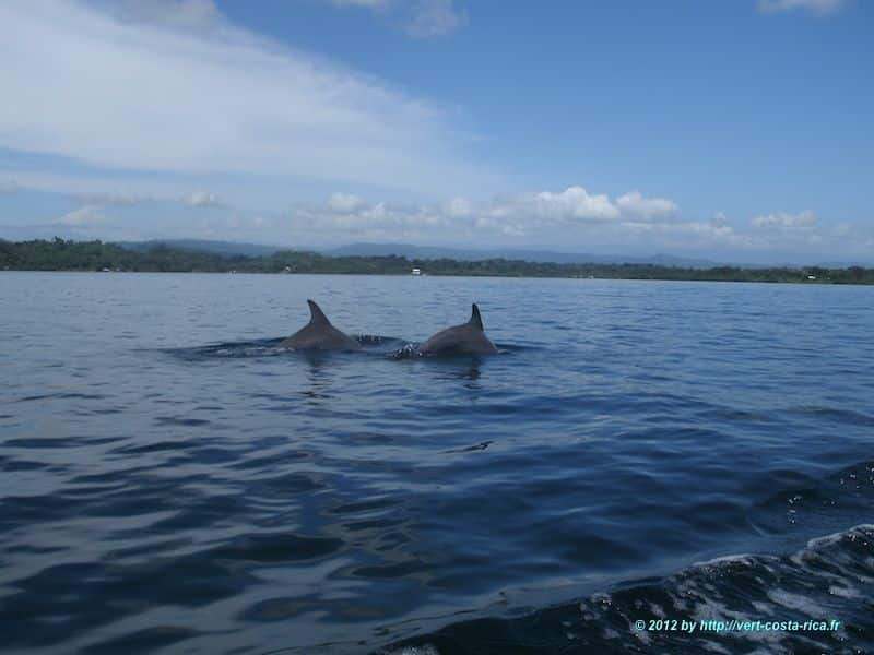 Dauphins - excursion à Bocas del toro