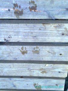 Sur les traces d'un Raton laveur - Parc national de Manuel Antonio