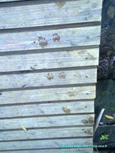 Sur les traces d'un Raton laveur sur la plage du Parc national de Manuel Antonio