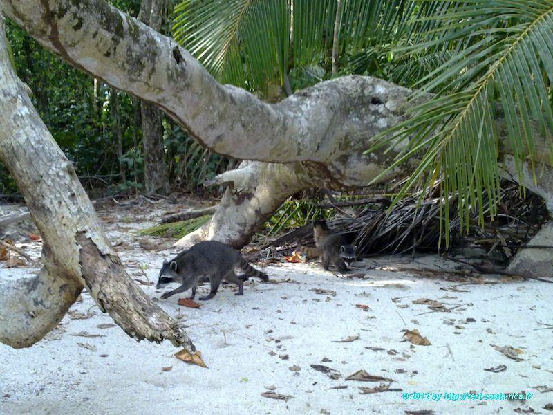 Raton laveur sur la plage dans le Parc national de Manuel Antonio - Costa Rica