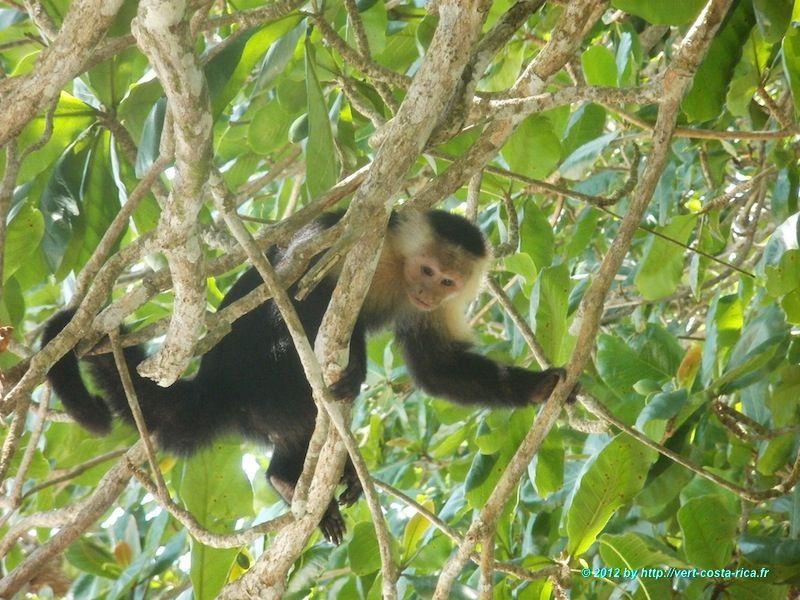 Portrait du Singe Capucin à tête blanche au Costa Rica