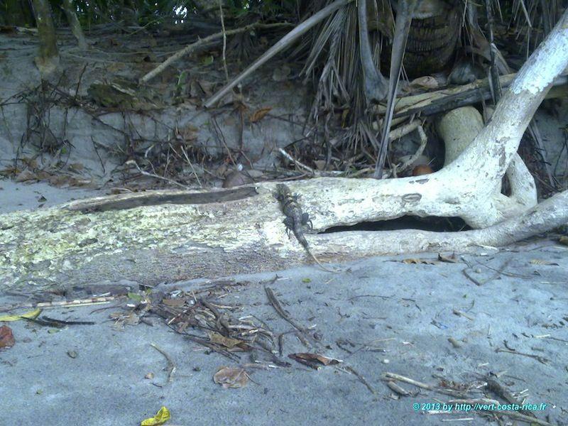 Iguane au Costa Rica sur la plage, animaux costa rica