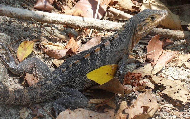 Iguane au Costa Rica, animaux du Costa Rica