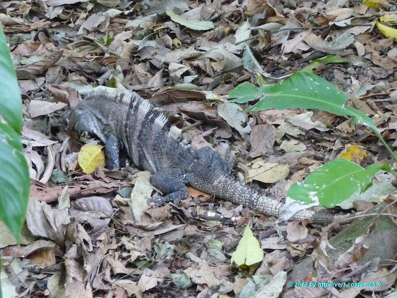 Image d'un iguane au Costa Rica, animaux costa rica