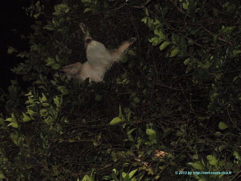 Paresseux au Costa Rica