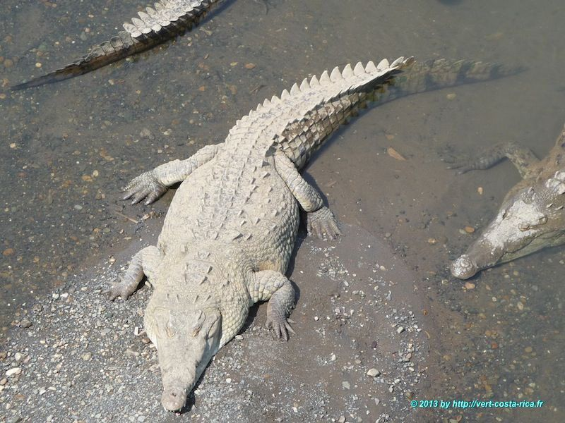 Les Crocodiles du Costa Rica à découvrir au Rio Tarcoles