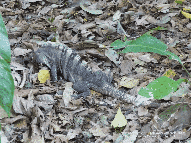 Parc National Carara au Costa Rica - igouane