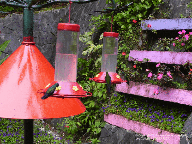 Colibris du Costa Rica, observation facile à Monteverde