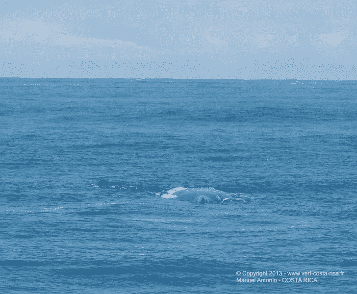 Baleines à bosse au large de Manuel Antonio, Costa Rica