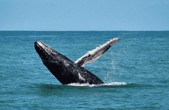 Animaux Marins : Observation des baleines sur les cotes Pacifique, Manuel Antonio