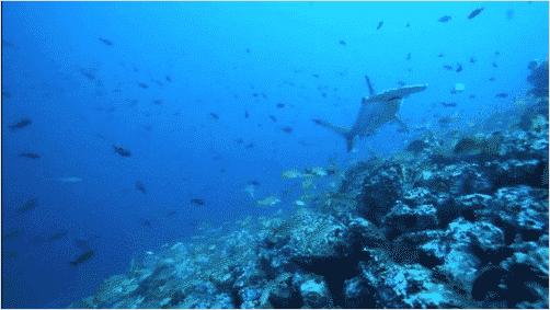 Animaux marins : Observation des requins-marteaux sur les cotes Pacifique, Isla del Coco