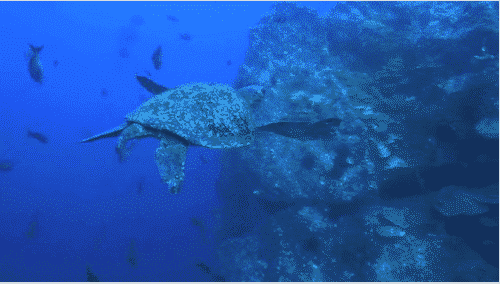 Observation des tortues de mer sur les cotes Pacifique, Isla del Coco