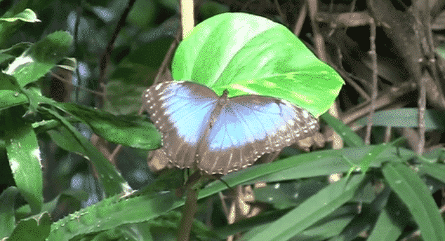 Papillon Morpho bleu du Costa Rica