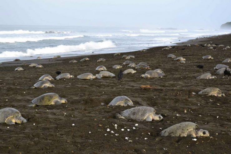 Ostional - observation des tortues marines