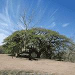 Le Guanacaste dit « Oreille Cafre »