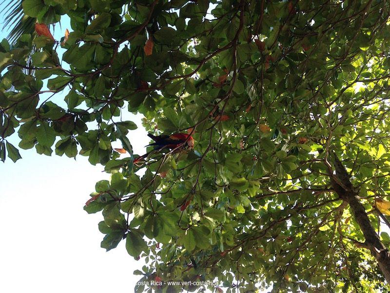 Ara-rouge-costarica_1