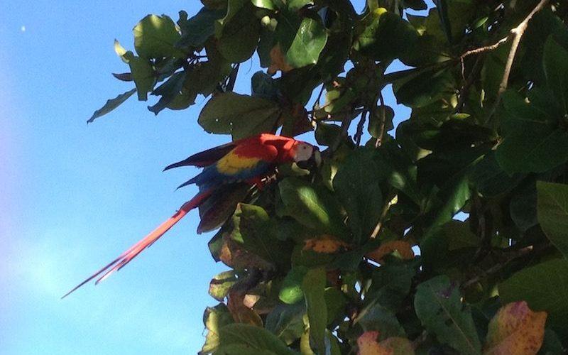Images de Ara Rouge au Costa Rica