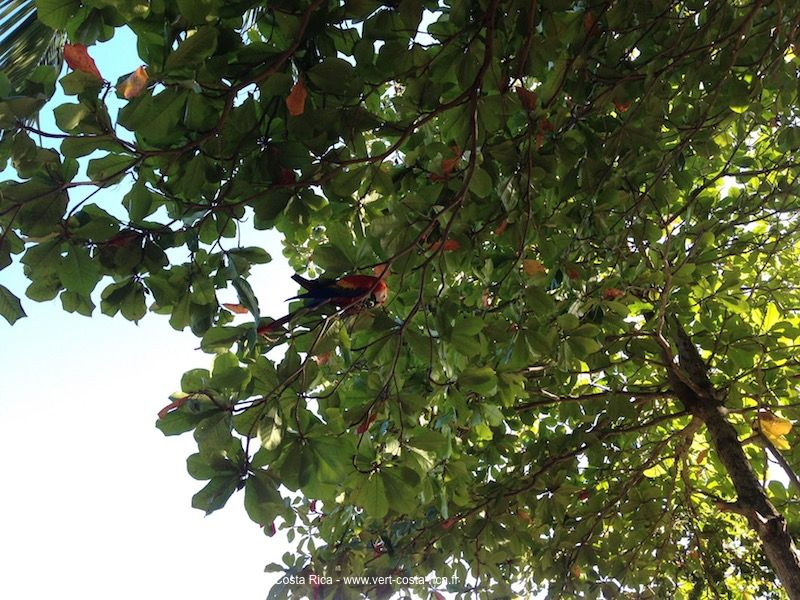 Ara-rouge-costarica_2
