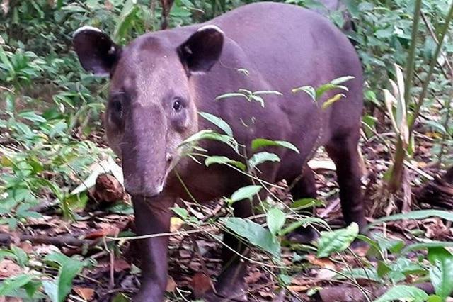 tapir Pack-corcovado-service-vertcostarica