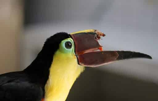 Protection des animaux au Costa Rica - Toucan Grecia