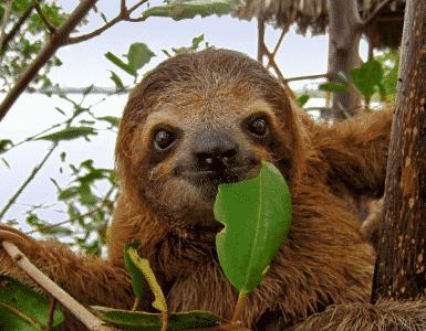 Les paresseux au Costa Rica : populaires pour leur lenteur extrême.