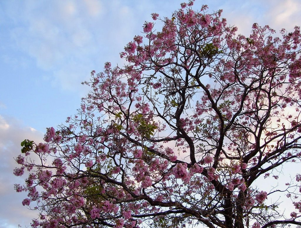Les arbres avec les floraisons les plus belles du Costa Rica-calice du papa