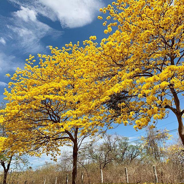 Les arbres avec les floraisons les plus belles du Costa Rica-cortez