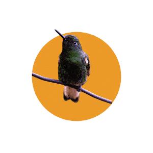 Faune du Costa Rica - Animaux - Colibri