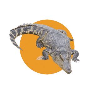 Faune du Costa Rica - Animaux - Crocodile