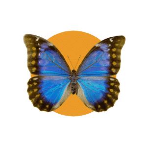 Faune du Costa Rica - Animaux - Morpho Bleu