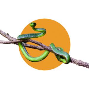 Faune du Costa Rica - Animaux - Serpent