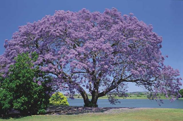 Les arbres avec les floraisons les plus belles du Costa Rica-jacaranda