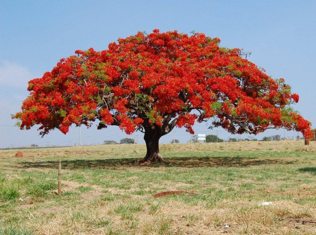 les arbres avec des plus jolies floraison - Delonix regia