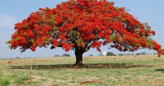 les arbres avec des plus jolies floraison du Costa Rica - Delonix regia