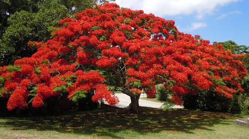 les arbres avec des plus jolies floraison - Sthodea campanulata