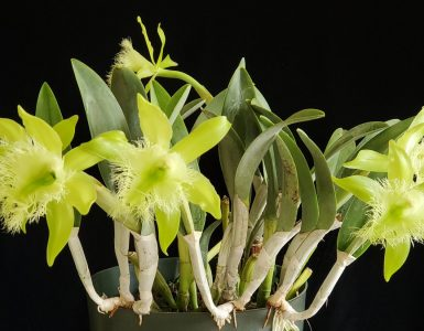 Les orchidées : Le Costa Rica, terre d'orchidées-Brassavola Digbyana