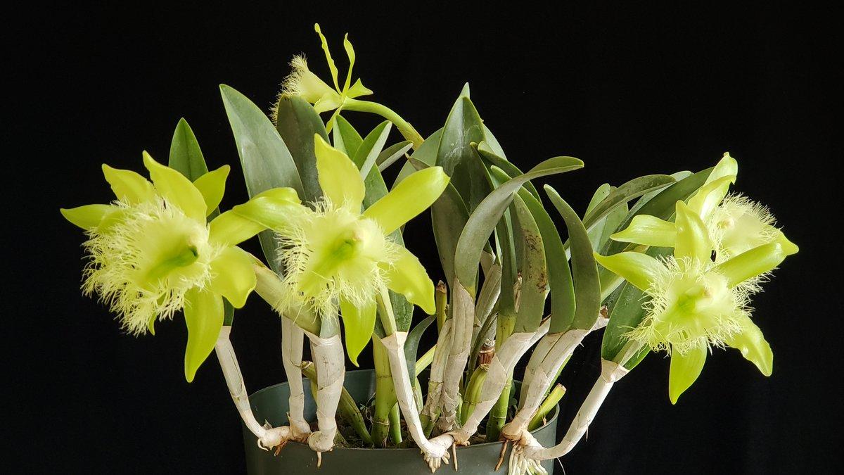 orchidee-Brassavola Digbyana -vert-costa-rica