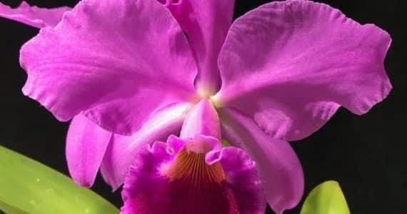 Les orchidées : Le Costa Rica, terre d'orchidées-Brassavola Digbyana -Cattleya-labiata