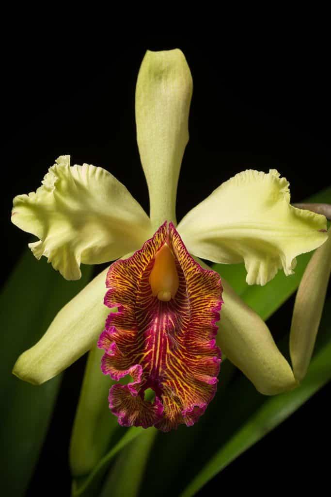 orchidee-cattleya-vert-Costa Rica